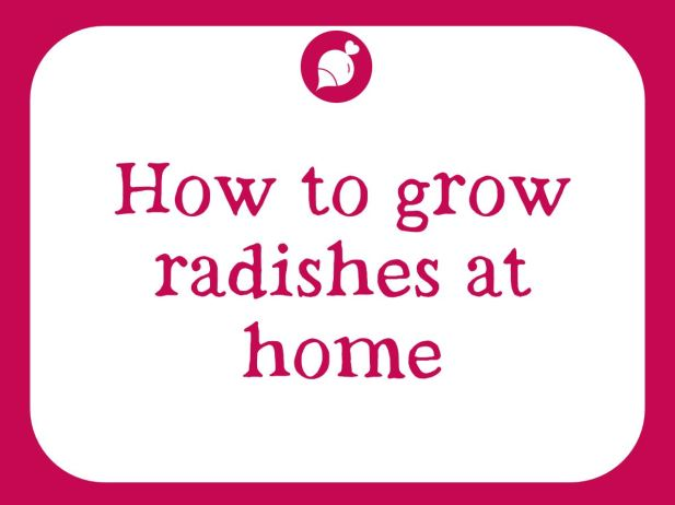 Grow radishes at home